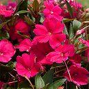[17年4月中旬予約]ガーデンニューギニアインパチェンス:ジーニ マゼンタ3.5号ポット 12株セット
