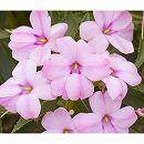 [17年4月中旬予約]ガーデンニューギニアインパチェンス:ジーニ ライトピンク3.5号ポット 6株セット
