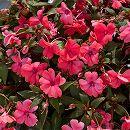 [17年4月中旬予約]ガーデンニューギニアインパチェンス:ジーニ サーモン3.5号ポット 6株セット