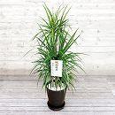 [ギフトに]緑の楽園:ドラセナ コンシンナ(マジナータ) 8号鉢植え(皿付)・立札付