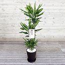 [ギフトに]緑の楽園:ドラセナ:ジェレ8号鉢植え(皿付)・立札付