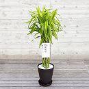緑の楽園:ミリオンバンブー(幸運の竹・ドラセナ サンデリアーナ) 8号鉢植え(皿付)・立札付