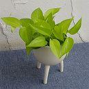 ポトス:ライム コンパクト3号ポット植え鉢カバー入り/脚付き鉢C6300