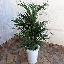 ヤシ:メキシコケンチャヤシ7号鉢植え