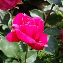 四季咲中輪バラ:シエンプレ大苗6Lポット