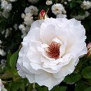 四季咲中輪バラ:レントラー大苗6Lポット