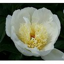 シャクヤク(ピオニー):花香殿7号ポット