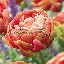 八重咲きチューリップ:コッパーイメージ5球植え4号ポット