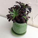 多肉植物:アエオニウム黒法師グリーン陶器鉢植え*