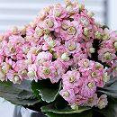 カランコエ:クィーンモアフラワーズ ピンクパリ4号鉢植え