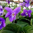 ニオイスミレ:ドゥナフォルドヴァル(青紫)3号ポット