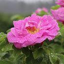 千年のバラ メイクイ:紫枝(ずず)4号ポット