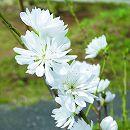 ほうき性花桃: 白楽天(はくらくてん)5号ポット