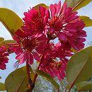 ロドレイヤ(シャクナゲモドキ竹下性樹高0.6m根巻き