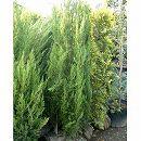 コロラドビャクシン(ジュニペルス):スパルタン樹高1.2m