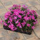 シバザクラ(芝桜):ピンクのマット25cm×25cm 1枚