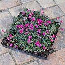 シバザクラ(芝桜):赤花のマット25cm×25cm 1枚
