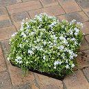 シバザクラ(芝桜):白花のマット25cm×25cm 1枚