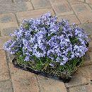 シバザクラ(芝桜):ブルーのマット25cm×25cm 1枚