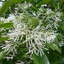 イッサイヒトツバタゴ樹高1.5m根巻き