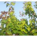 カツラ(桂):株立ち樹高約2m根巻き