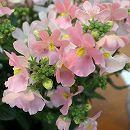 [17年2月中旬予約]ネメシア:メーテル ほの花3.5号ポット