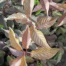 桜:八重桜紫葉ロイヤルバーガンディ樹高1.2m根巻き