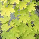 ノルウェーカエデ:プリンストンゴールド樹高1.8m根巻き