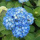 アジサイ:安行四季咲き(アンギョウシキザキ)樹高40〜50cm根巻き