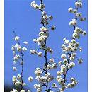 シジミバナ(蜆花)樹高1m根巻き