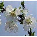 桜:富士桜(フジザクラ)樹高1.5m根巻き