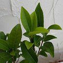 茶(チャ):サヤマカオリ5号ポット 12株セット