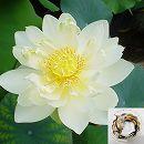 [17年3月中旬予約]花はす:レンコン丸:クリスタルビューティー
