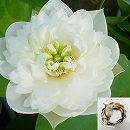 [17年3月中旬予約]花はす:レンコン丸:雪の精