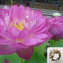 [17年3月中旬予約]花はす: レンコン丸:緋扇
