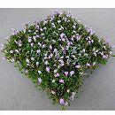 マット植物:サギゴケ:モモバナサギゴケのマット25cm×25cm 1枚