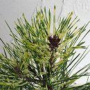 松:蛇の目赤松5号鉢植え