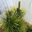 松:黄金黒松5号鉢植え