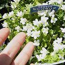 コリセウムアイビー(ツタカラクサ・シンバラリア):白花3号ポット 2株セット