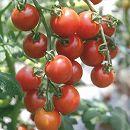 ミニトマト:ぜいたくトマトミニ3号ポット