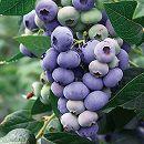 ブルーベリー:BIGダロー樹高70〜90cm根巻き