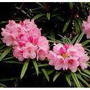 日本シャクナゲ:細葉石楠花 根巻き樹高20〜30cm