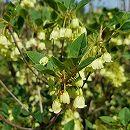ドウダンツツジ:黄花ドウダン根巻き樹高30〜50cm