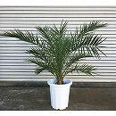 カナリーヤシ(フェニックス)10号鉢植え樹高約1m