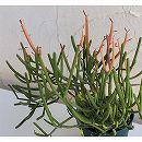 戸外で冬越しできる多肉植物・ユーフォルビア:ティルカリ ファイアースティックス3.5号鉢植え