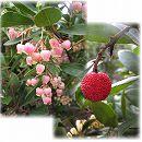 イチゴノキ(アルブタス):赤花 樹高1.5m根巻き