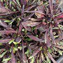 [17年5月中旬予約]栄養系コリウス:葉っぱのコリン ファンシーブラック7.5cmポット