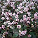 マット植物:ヒメツルソバ(ポリゴナム)のマット25cm×25cm 1枚