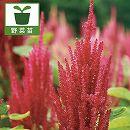 アマランサス 穀物用品種(赤花・白花ミックス)3号ポット