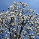 コブシ:ワダスメモリー樹高約2m根巻き